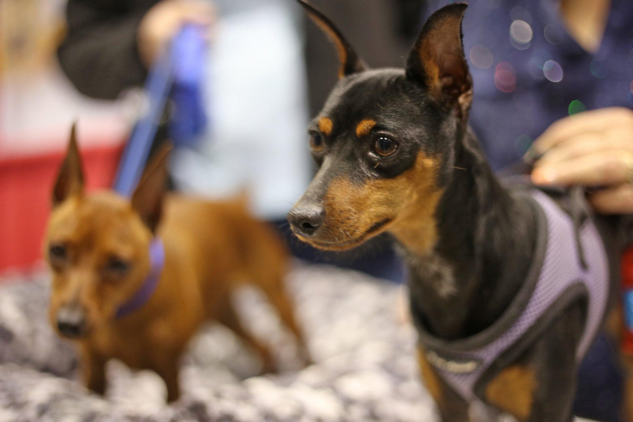 Mash Elle beauty blogger   puppy dog fever   long blue sweater   leggings   boots   dog show   Royal Canin championship
